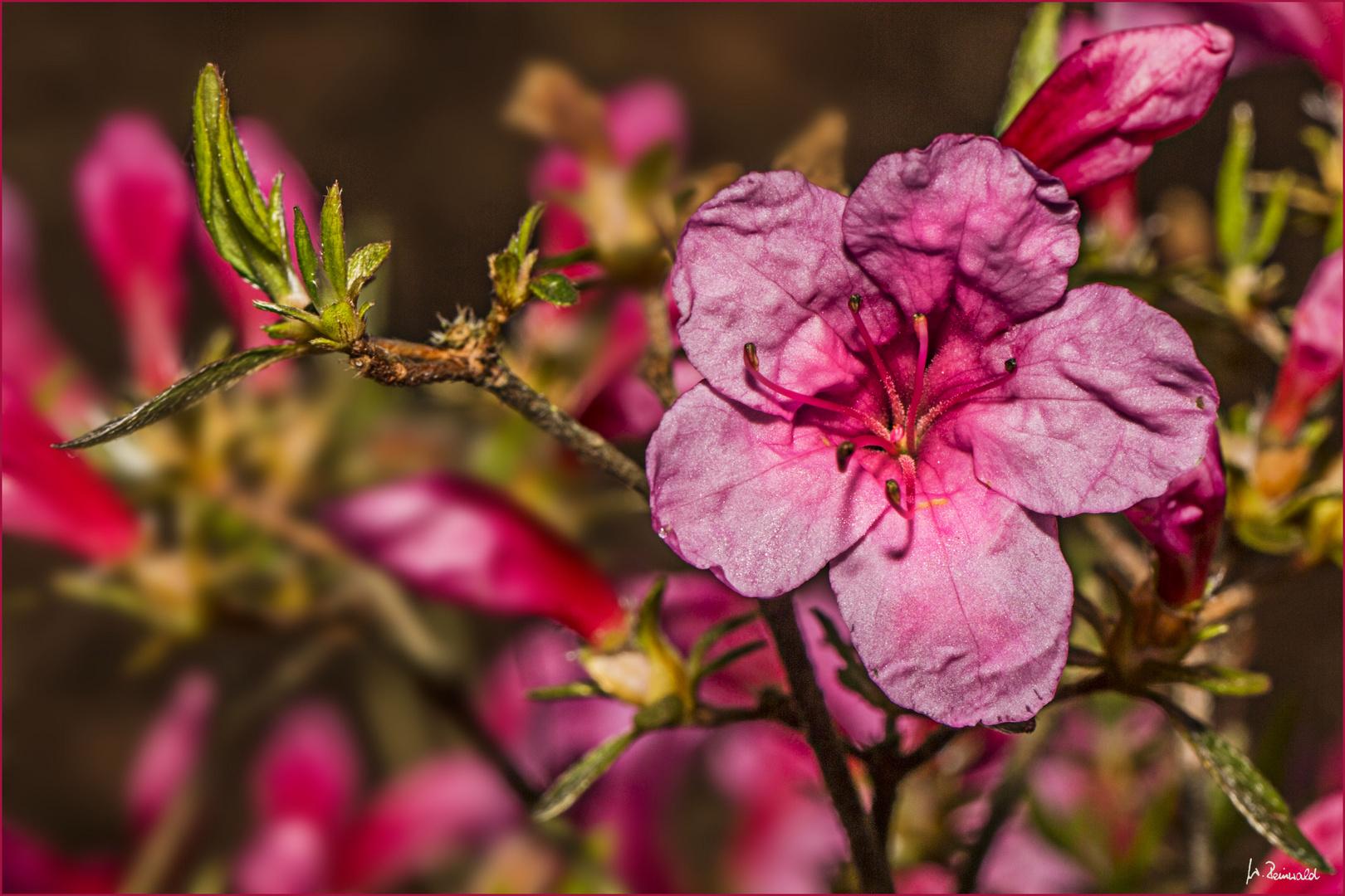 Die erste Azaleenblüte in unserem Garten