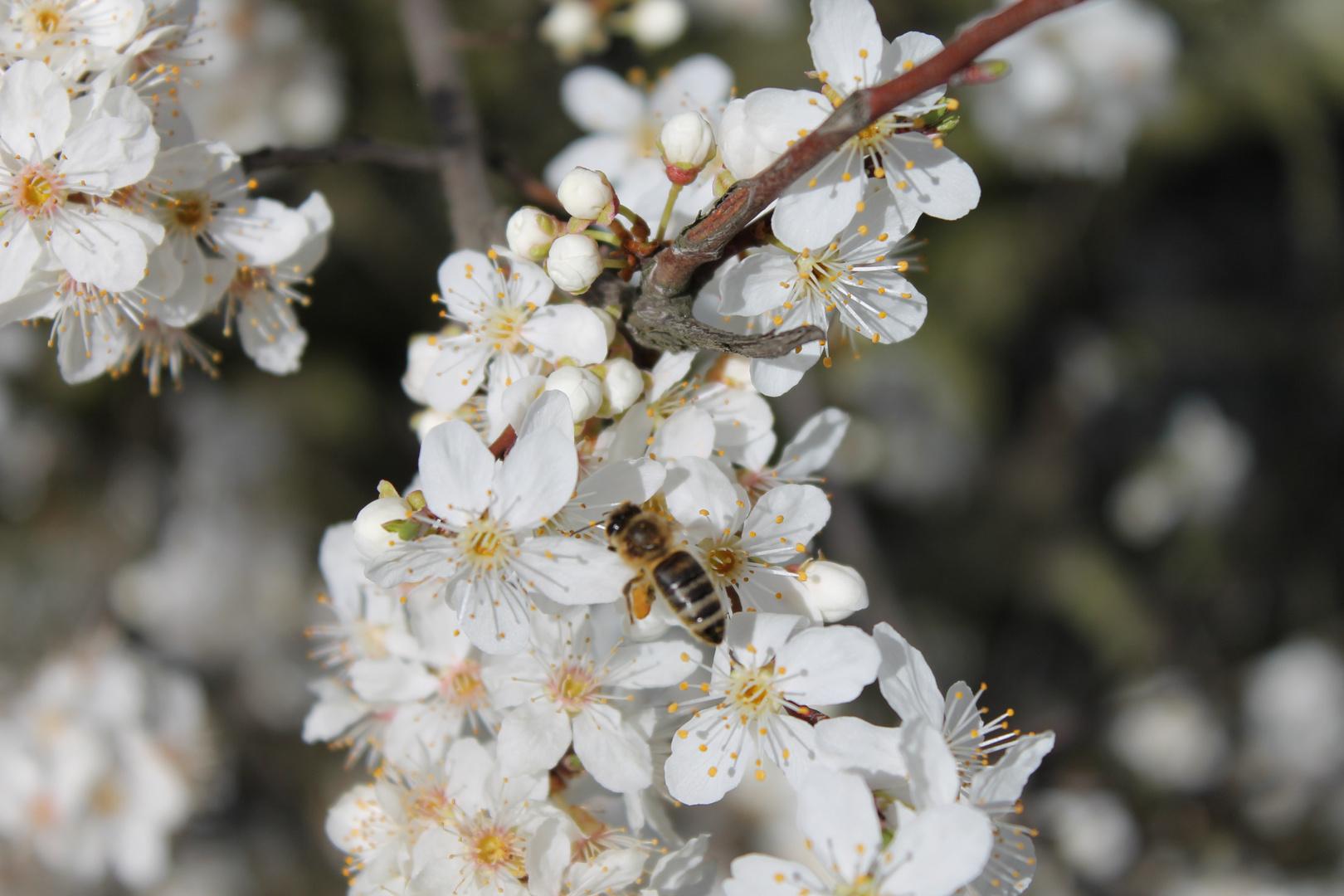 Die erste Biene des Jahres (Danke für den Tipp)