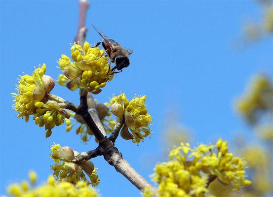 die erste Biene