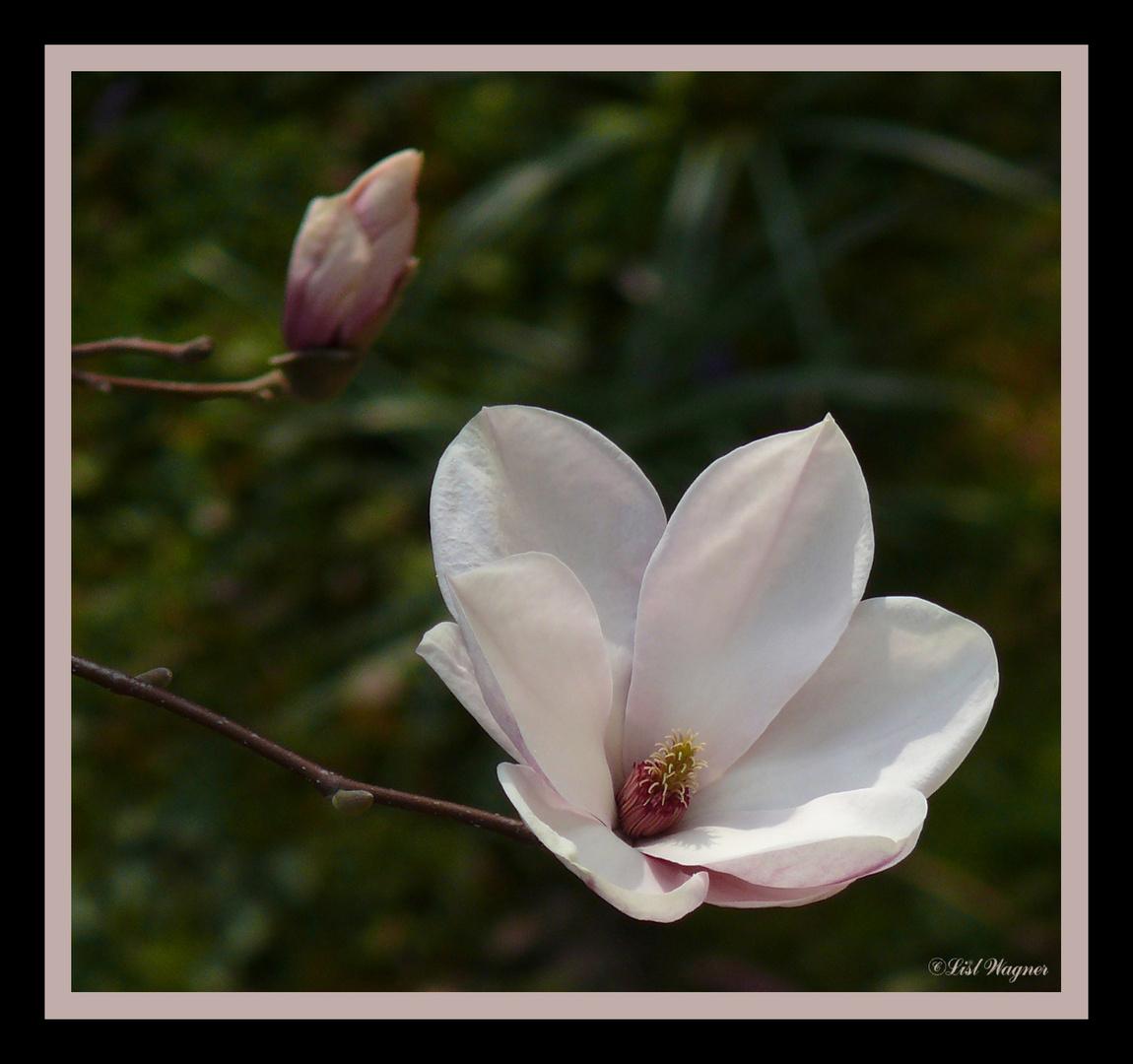 die erste Blüte Jahrgang 2011