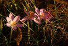 Die erste Blütenfamilie aus unserem Garten...