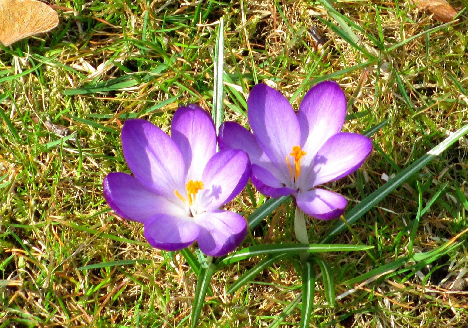 Die erste Blume 2013 in Eckernförde