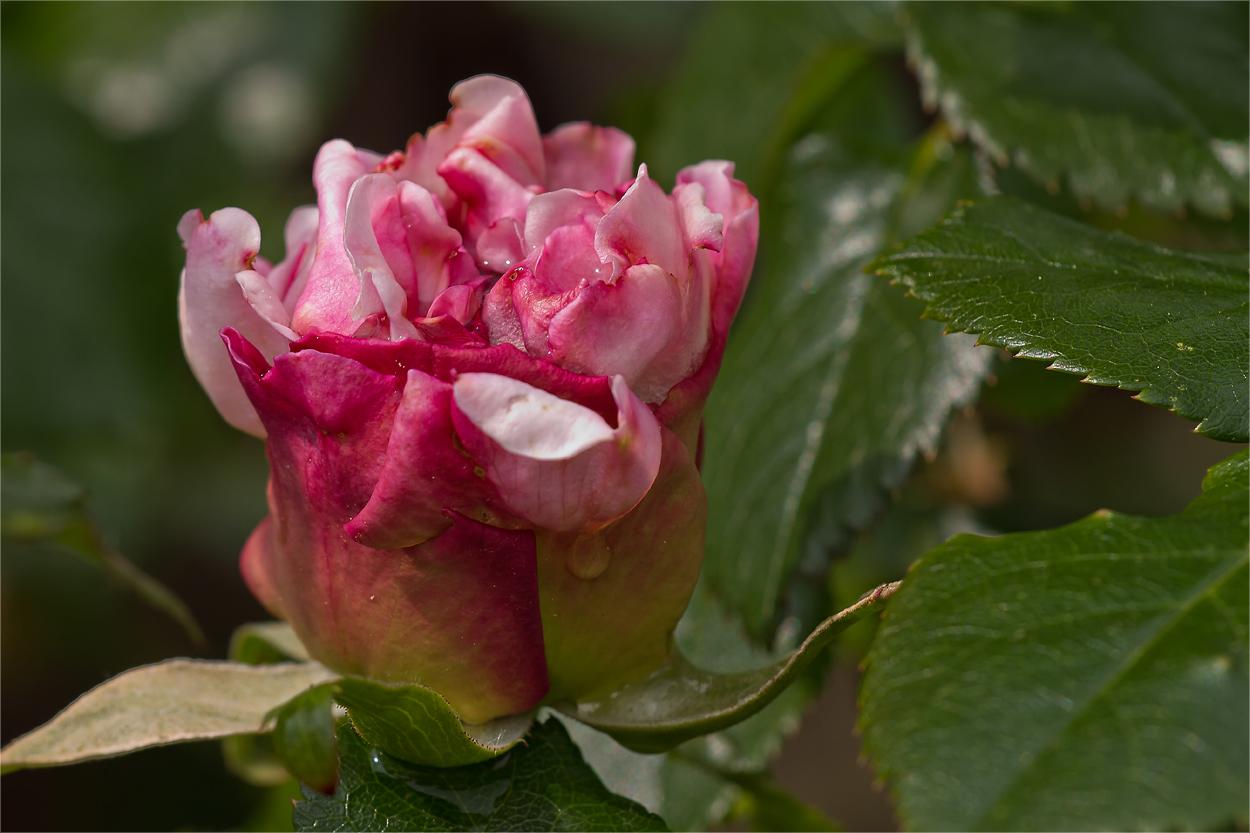 Die erste englische Rose