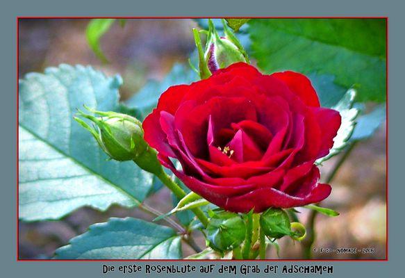 Die erste erblühte Rose auf dem Grab der Adschameh