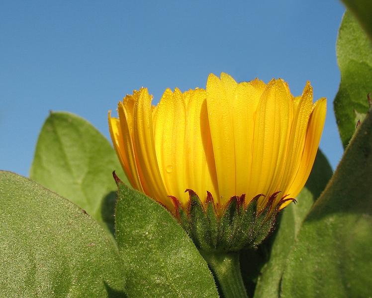 Die erste Ringelblume