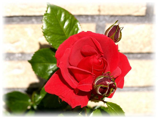 Die erste Rose 2005