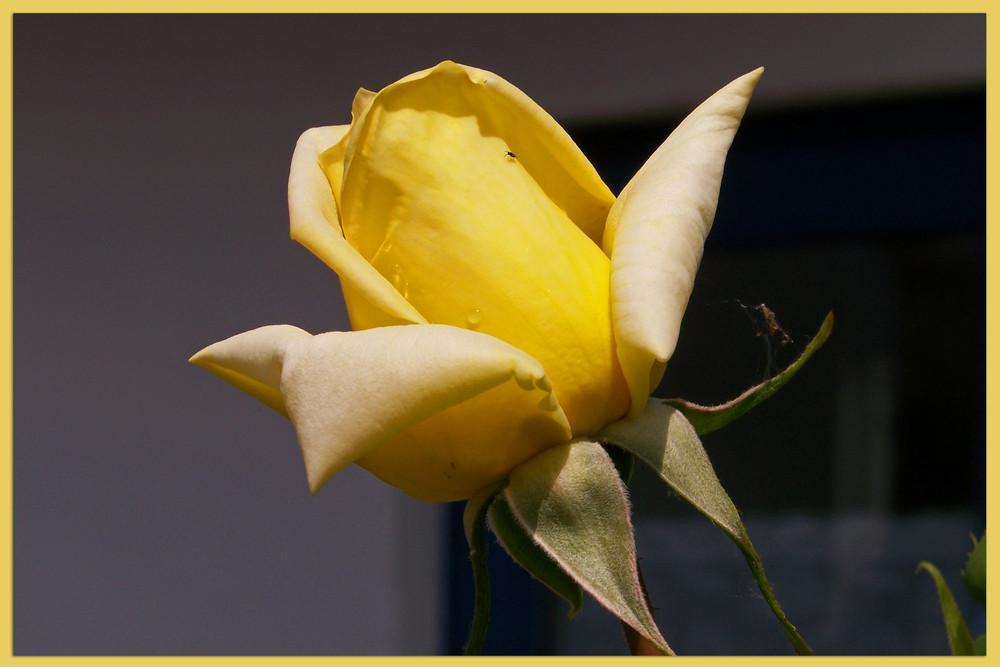 Die erste Rose...