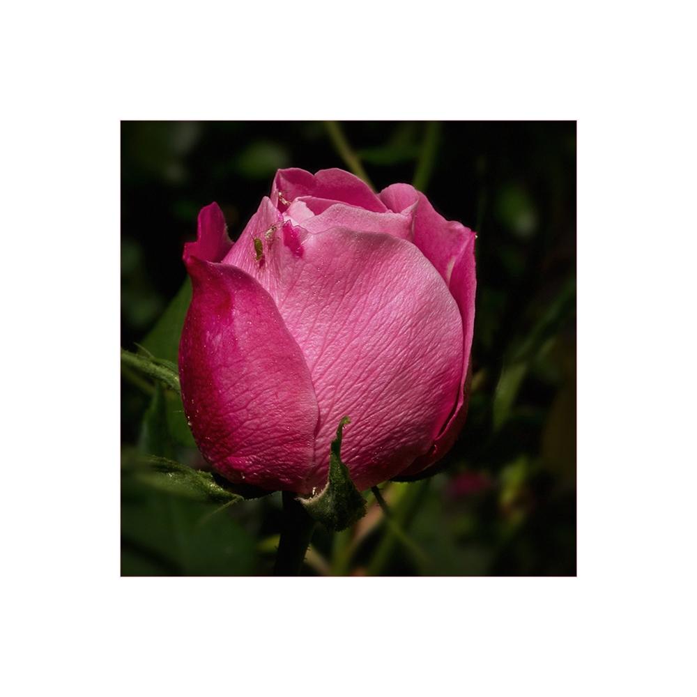 Die erste Rose .....
