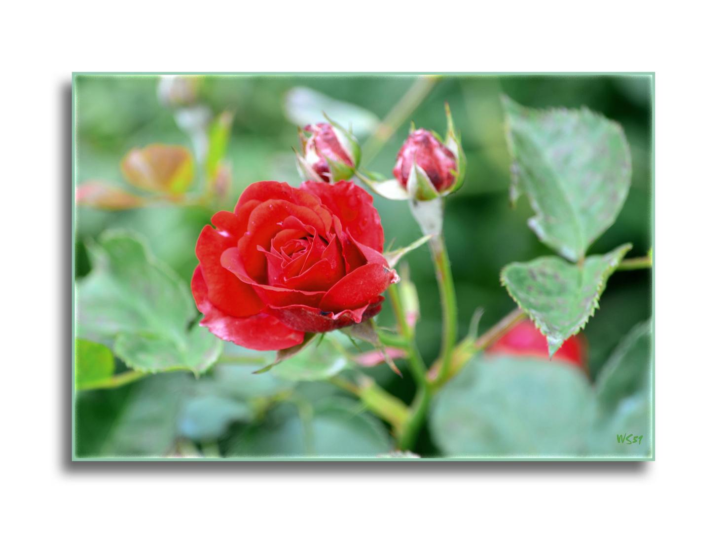 die erste Rose im Vorgarten