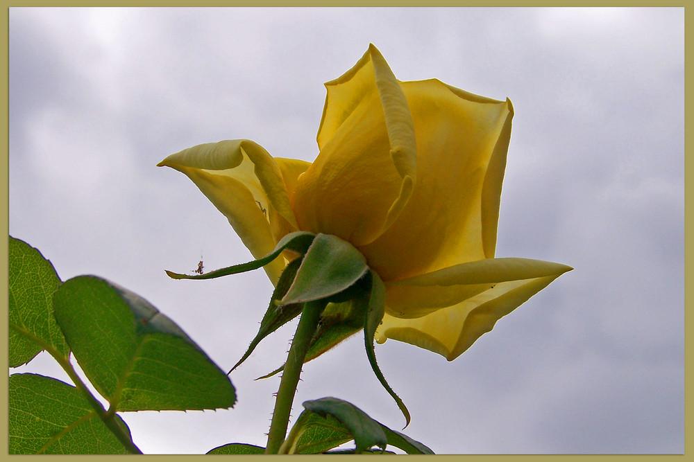 Die erste Rose mit Blick zum Himmel....