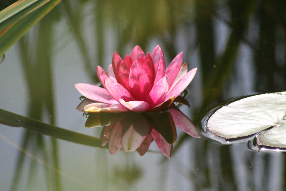 Die erste Seerose im Teich