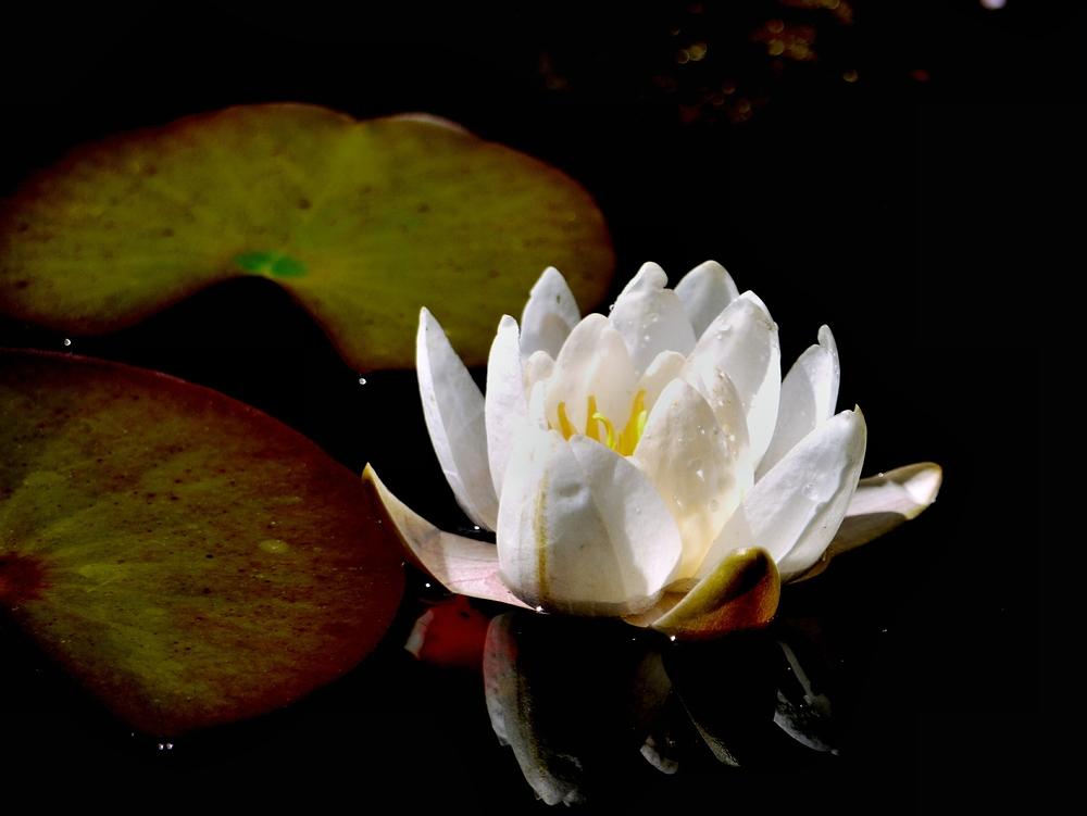 die erste Seerose im Teich2