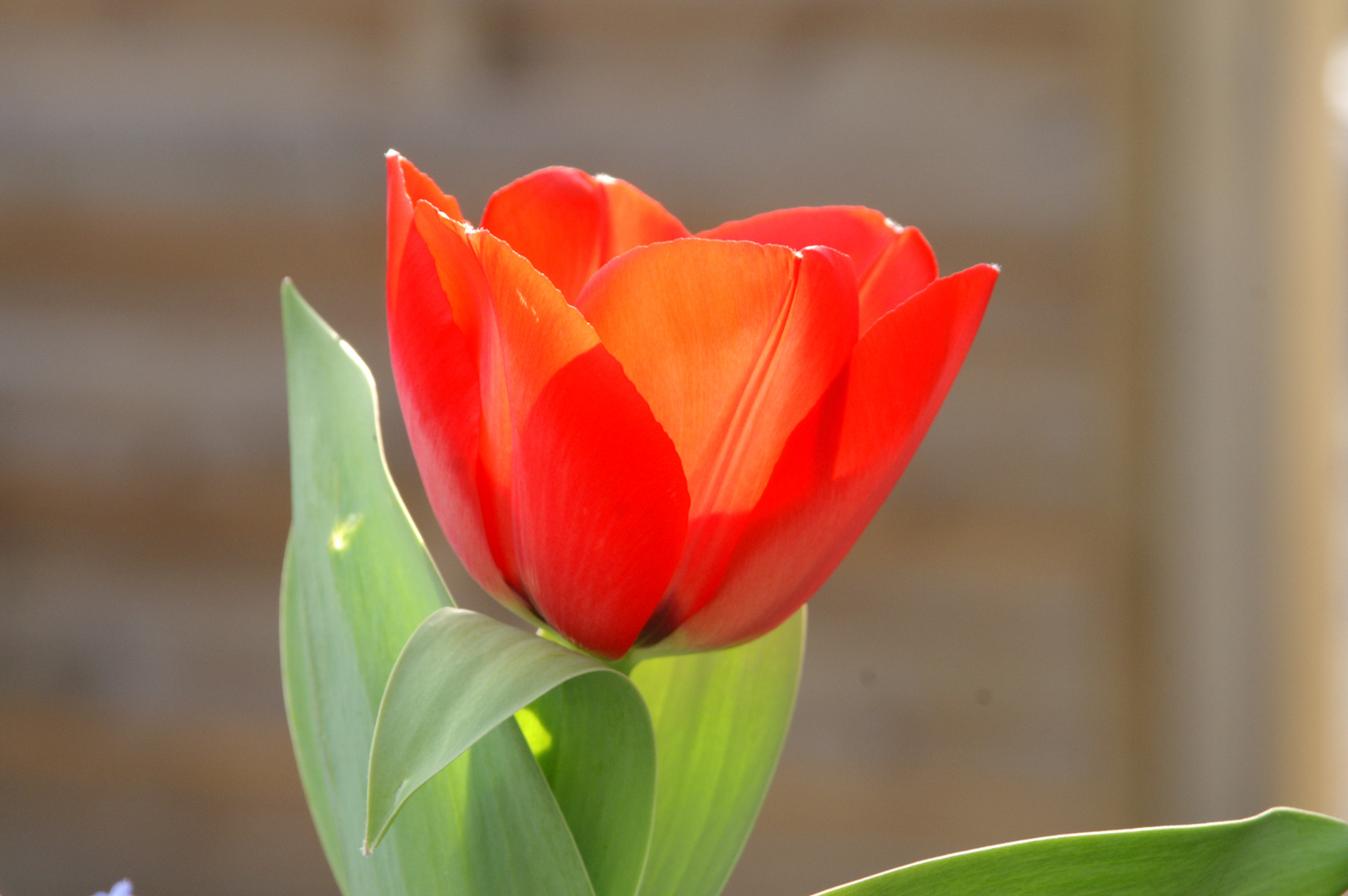 die erste Tulpe im Garten