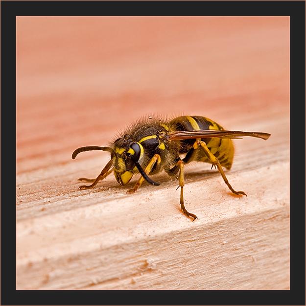 Die erste Wespe in diesem Jahr!