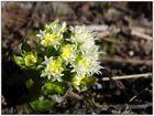 Die ersten Alpenblumen