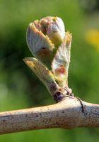 Die ersten Blätter eines Weinstocks