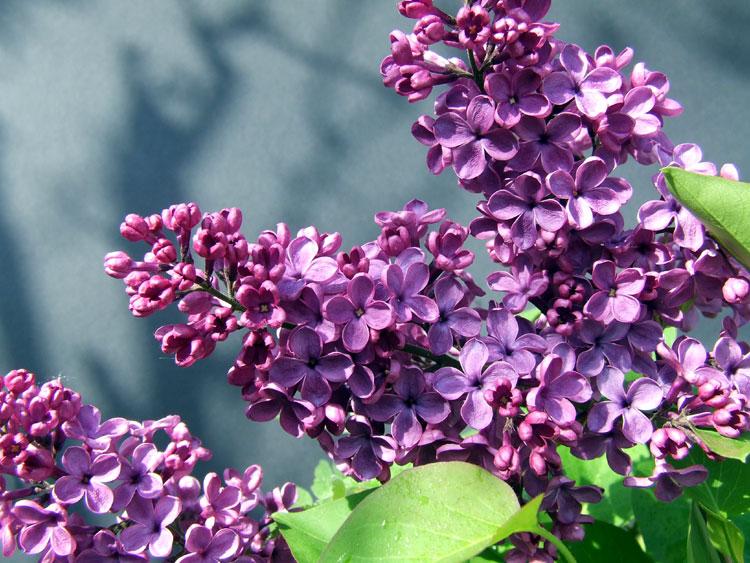 Die ersten Blüten an meinem Bonsai-Flieder
