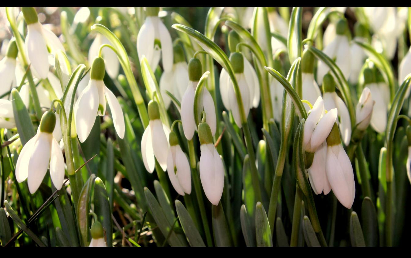 ...die ersten die das Frühjahr ankündigen :-)