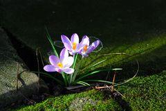 Die ersten Frühjahresboten