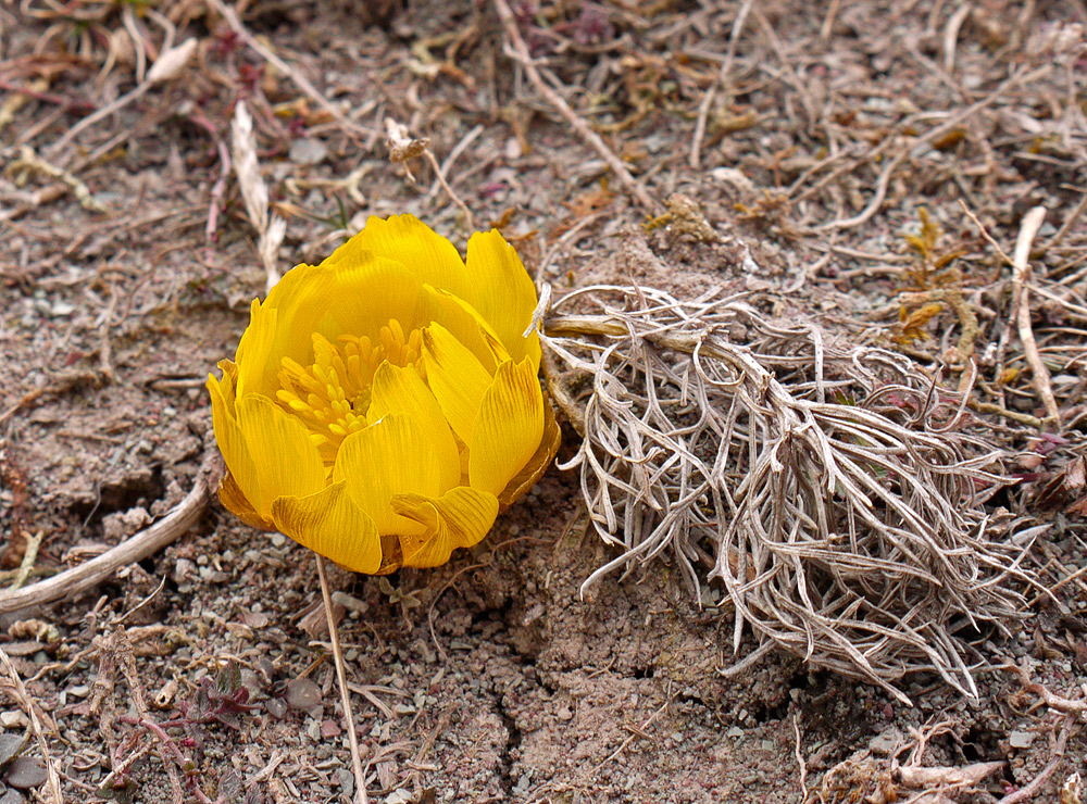 Die ersten Frühlings-Adonisröschen...