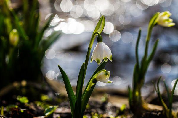 die ersten Frühlingsboten im Moor