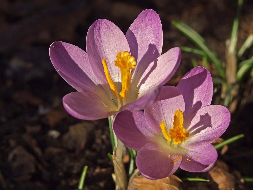 Die ersten Frühlingsboten in unserem Garten 3