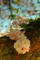 Die ersten Kirschblüten im Schwezinger Schloßgarten