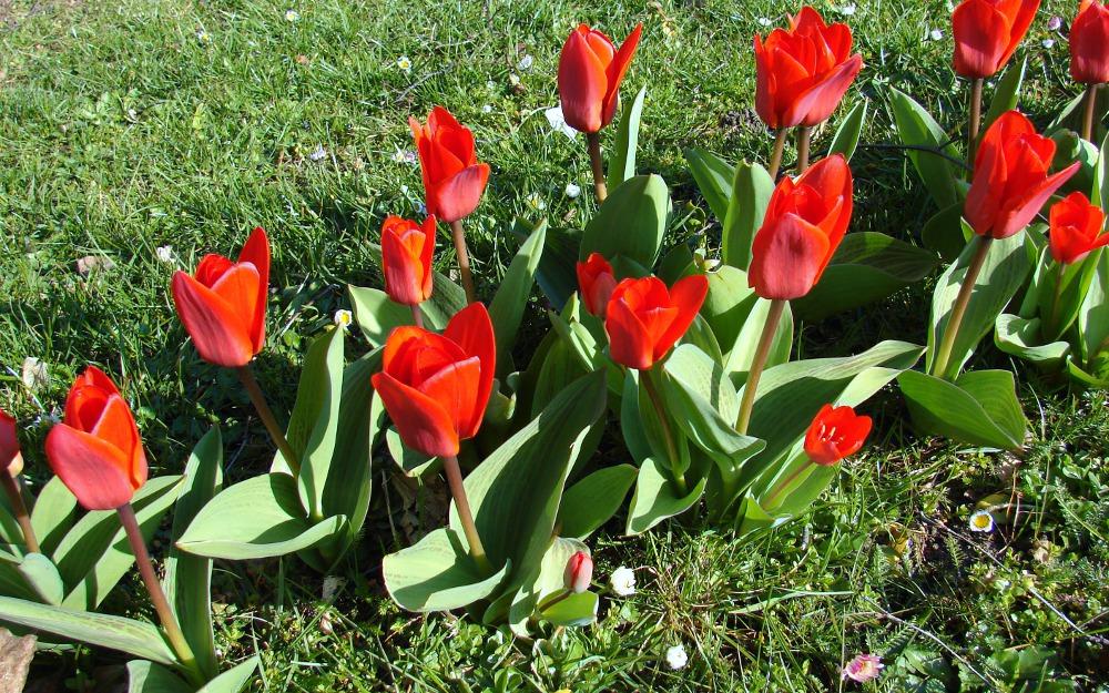 Die ersten kleinen Tulpen,,,