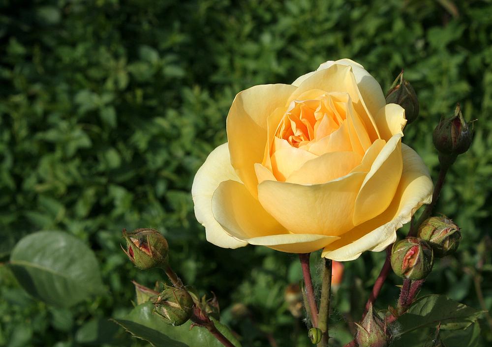 Die ersten Rosen (2)