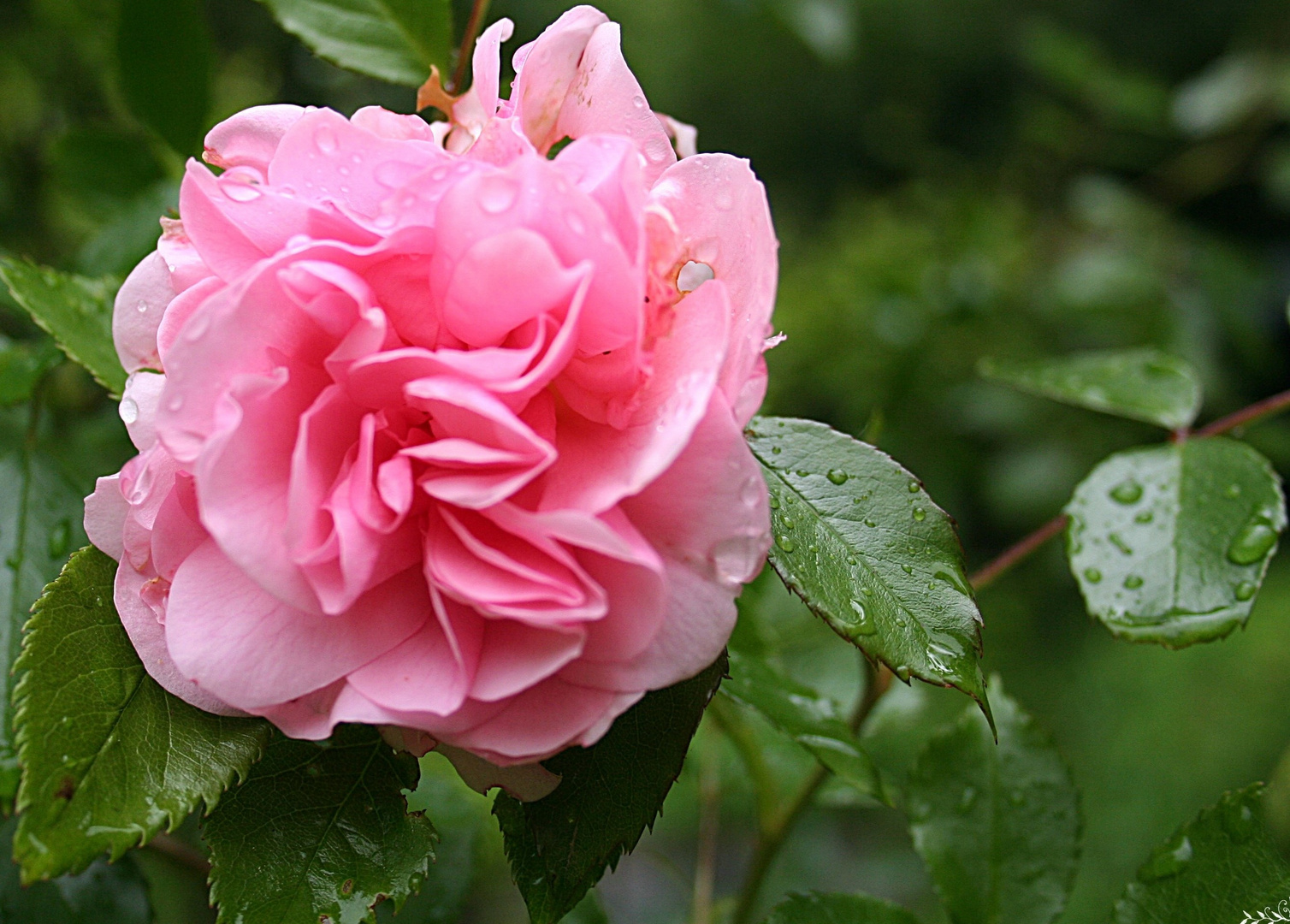 die ersten Rosen blühen schon