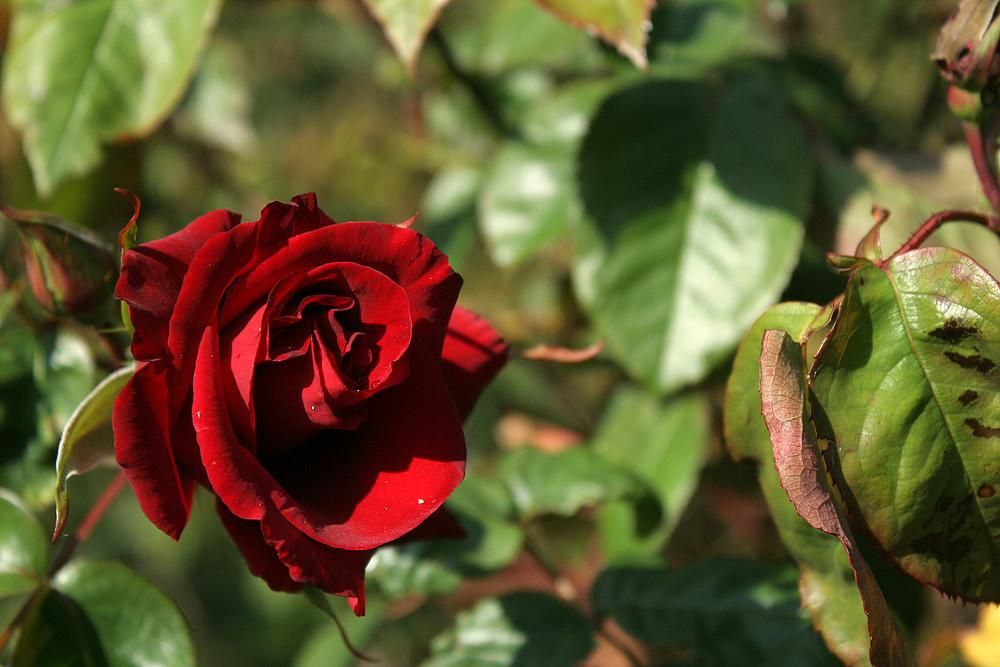 Die ersten Rosenblüten