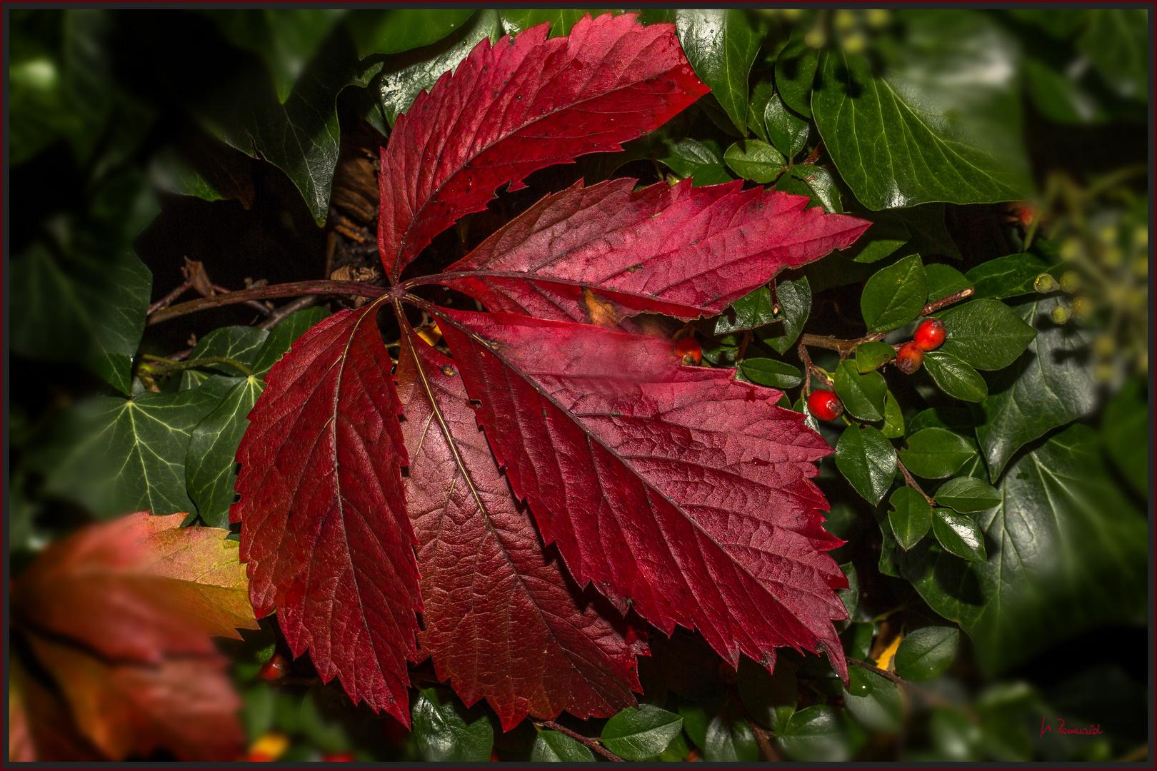 Die ersten roten Blätter ...