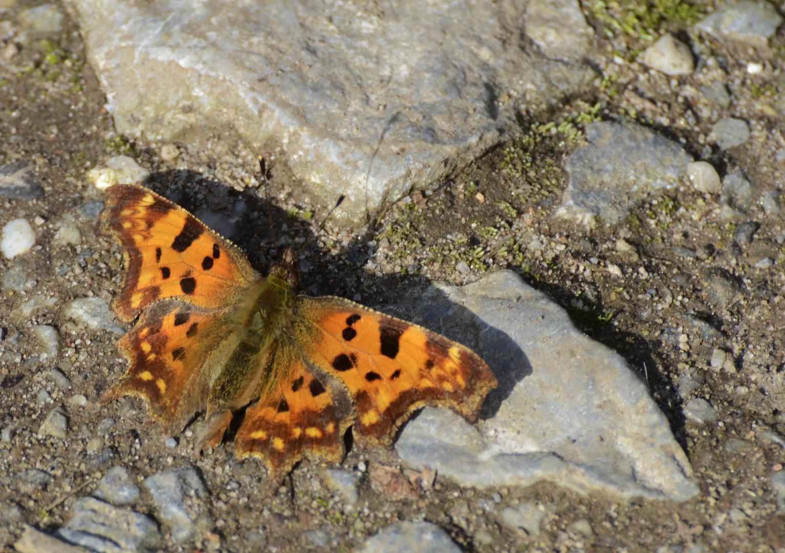 Die ersten Schmetterlinge...