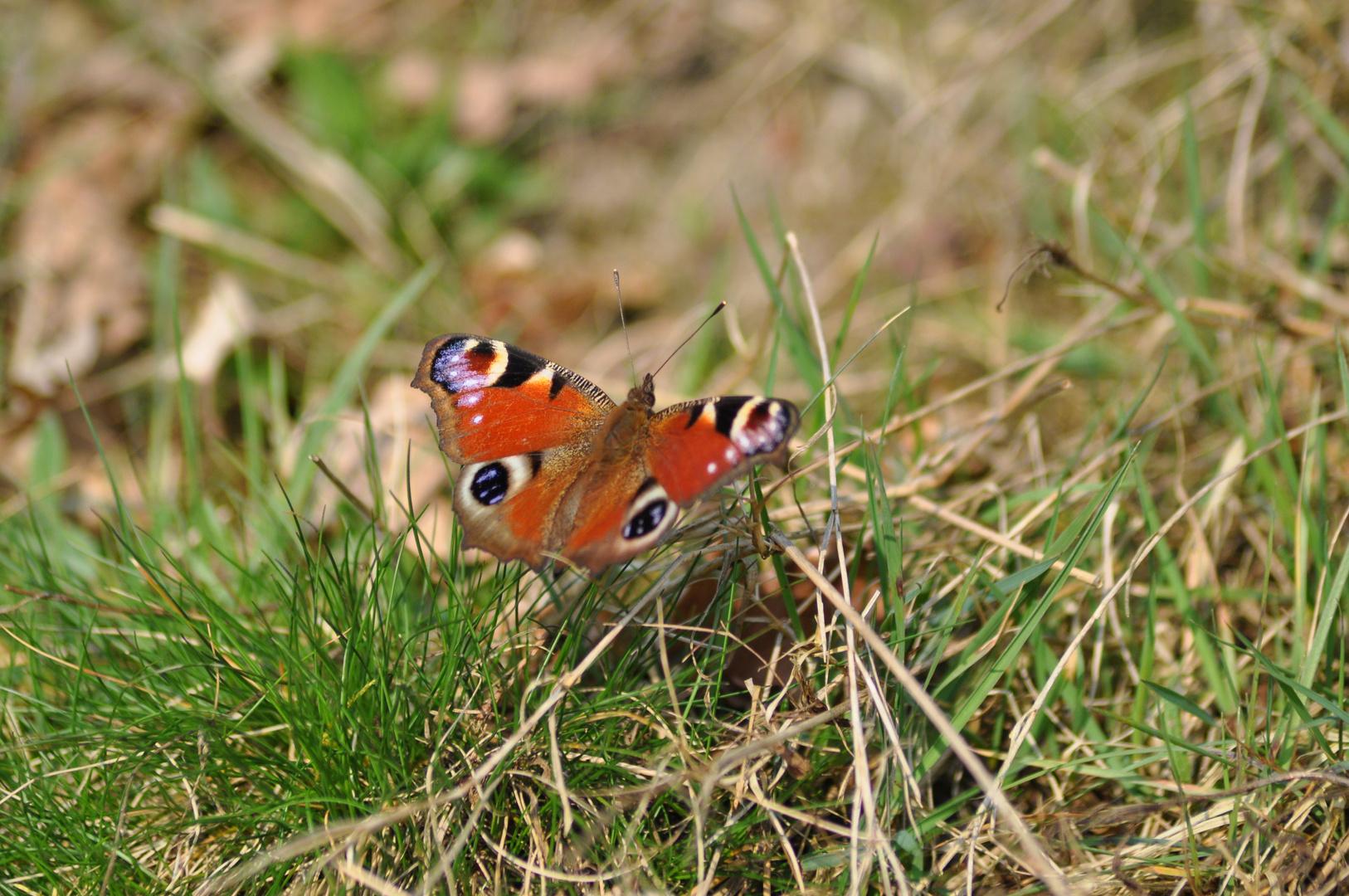 Die Ersten Schmetterlinge sind da.