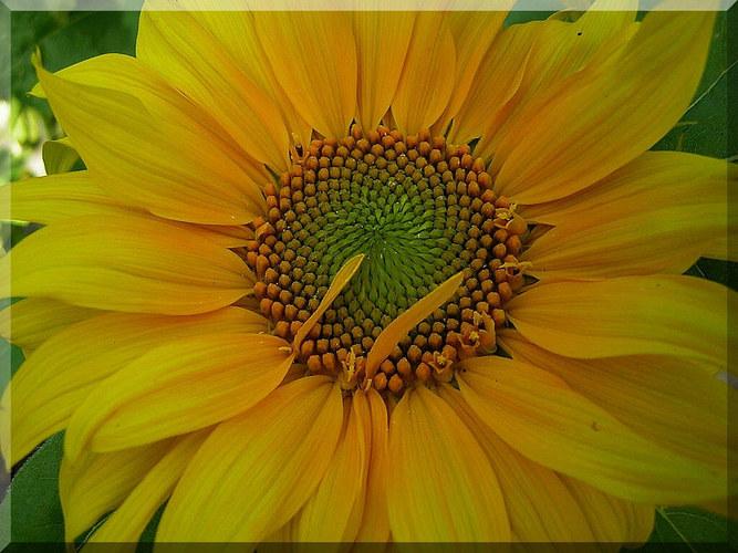 die ersten sonnenblumen