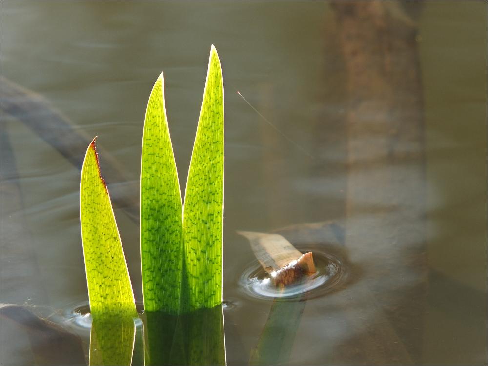Die ersten Triebe der Wasserlilien ...