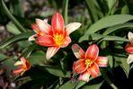 die ersten Tulpen 2011