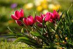 Die ersten Tulpen ...