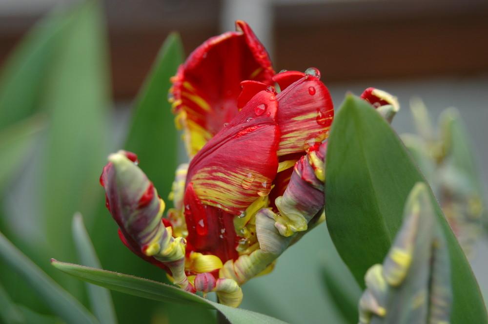 Die ersten Tulpen es Jahres