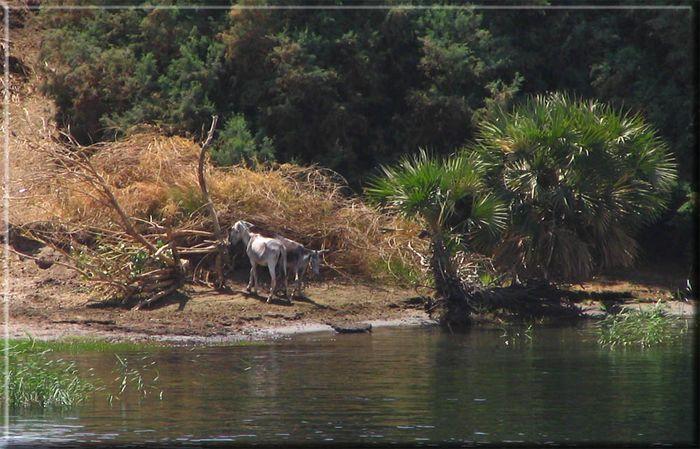 DIe Esel am Nil..