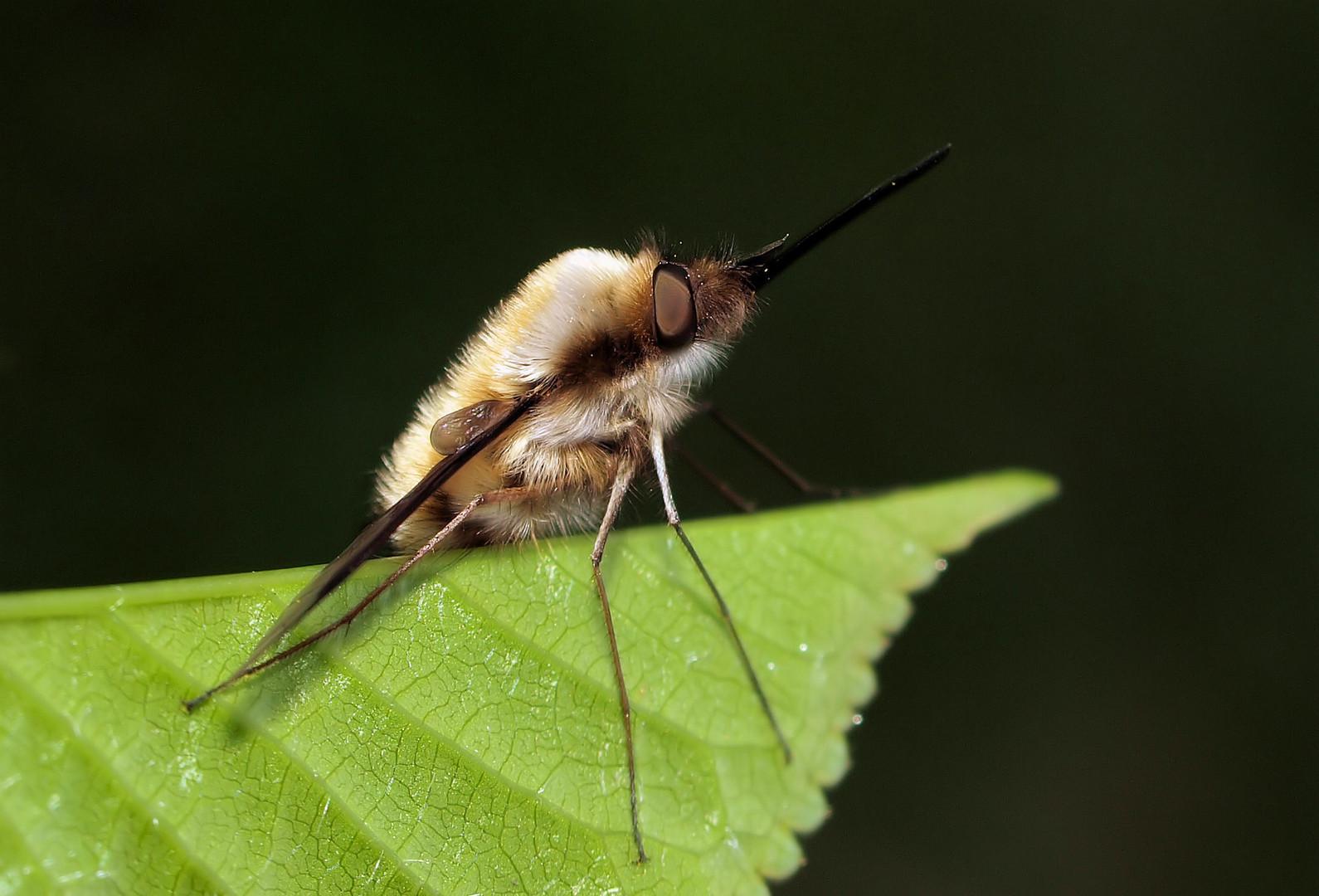 Die etwas andere Fliege...