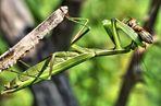 Die Europäische Gottesanbeterin (Mantis religiosa) .....