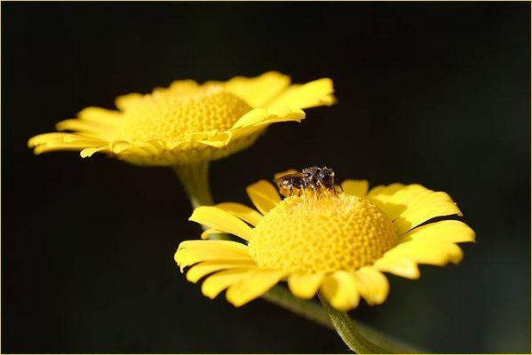 Die Färberkamille (Anthemis tinctoria) hat Besuch