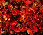 die Farbe Rot im Herbst
