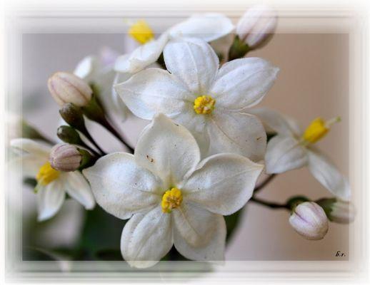 Die Farbe Weiss - Sommerjasmin -