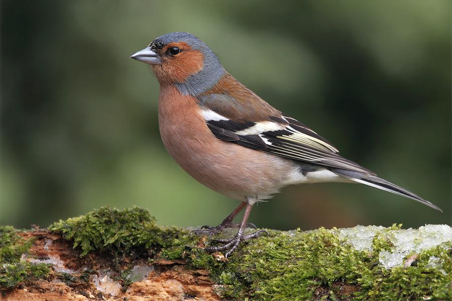 die farben beim buchfink foto amp bild tiere wildlife