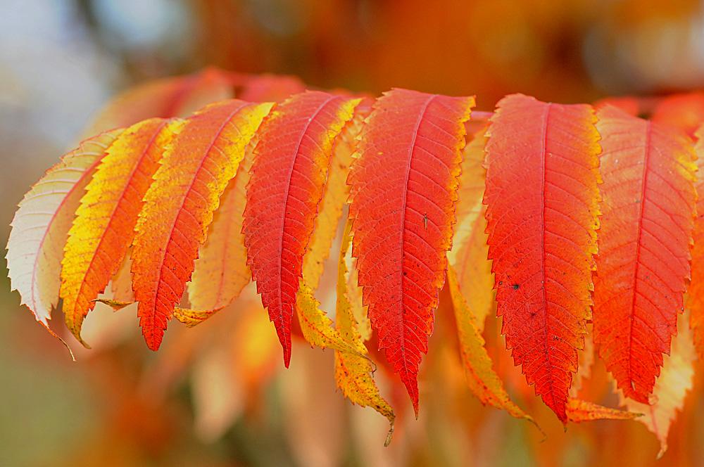 die Farben der Essigbäume