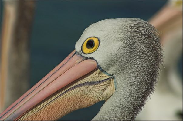 Die Farben des Pelikan