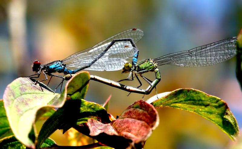 Die farbenfrohe und kunstvolle Libellenwelt........