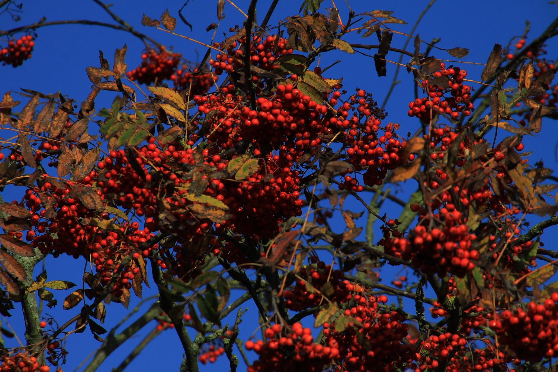Die Farbenpracht der Eberesche im Herbst